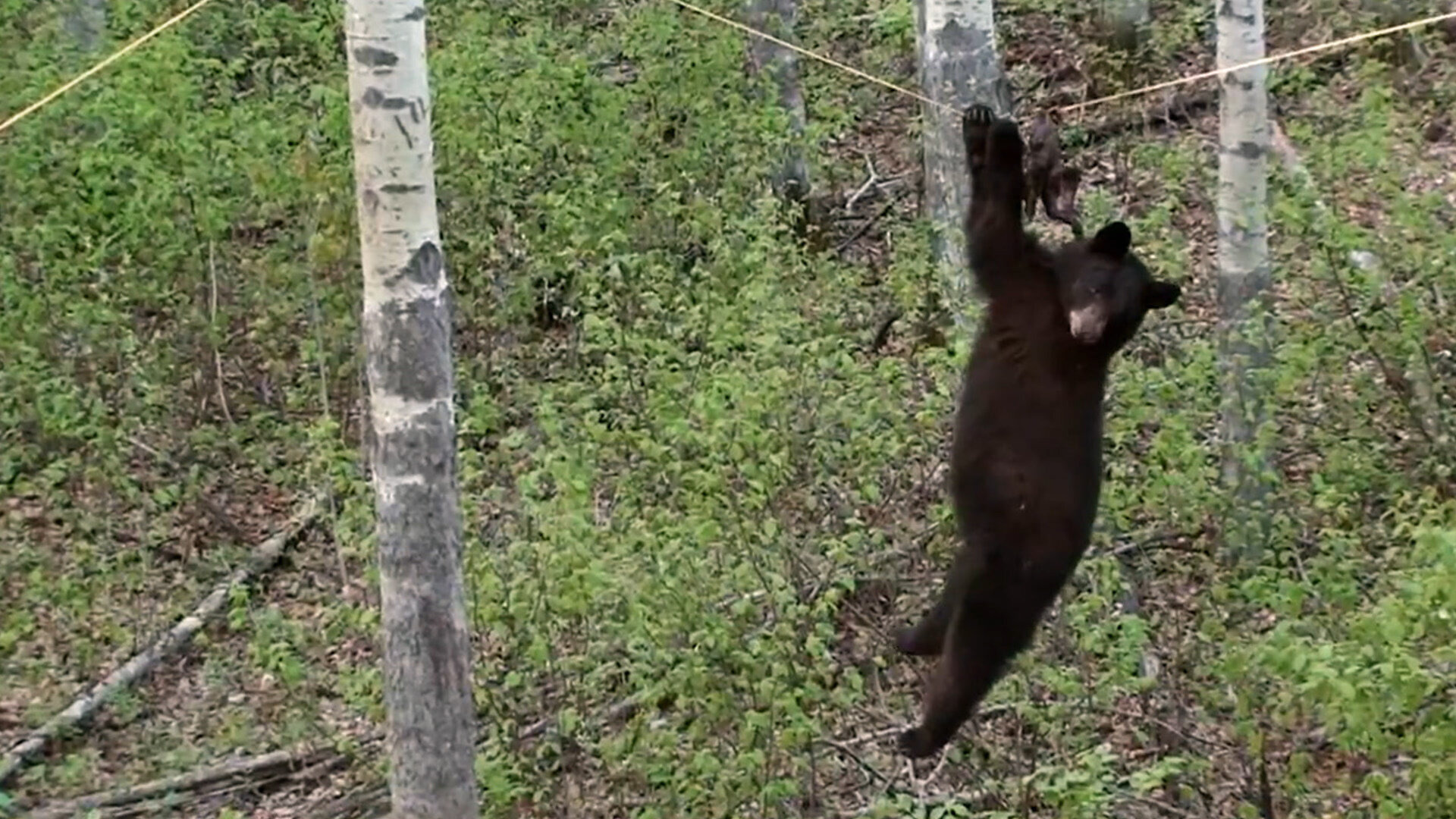 Nature Gone Wild — s01e06 — Bear On A Wire