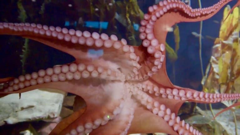 The Aquarium — s01e05 — Ophelia the Octopus