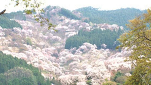 s2014e16 — Yoshino, Nara: Awash in Pink Petals