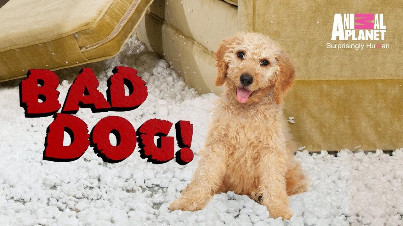 Show Bad Dog! (US)