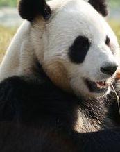Show Giant Pandas Go Wild
