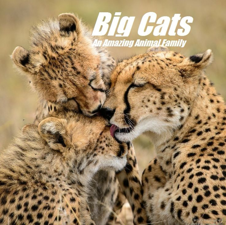 Show Big Cats: An Amazing Animal Family